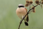 WildLife Photos of Birds, Shrikes, Red-backed Shrike, Lanius collurio