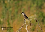 WildLife Photos of Lesser Grey Shrike, Lanius minor