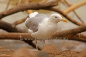 WildLife Photos of Caspian Gull, Larus cachinans