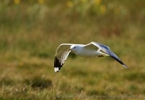 WildLife Photos of Mew Gull, Larus canus