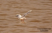 WildLife Photos of Birds, Gulls, Terns & Auks, Slender-billed Gull, Larus genei