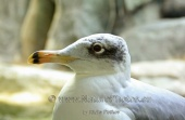 WildLife Photos of Great Black-headed Gull, Larus ichthyaetus
