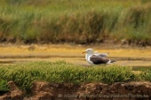 WildLife Photos of Great Black-backed Gull, Larus marinus