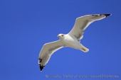 WildLife Photos of Yellow-legged Gull, Larus michahellis