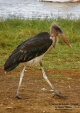 WildLife Photos of Storks & Herons, Marabou Stork, Leptoptilos crumeniferus