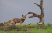 WildLife Photos of Mammals, Carnivores, Fox