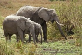 WildLife Photos of Mammals, Elephants & hyraxes, African Elephant