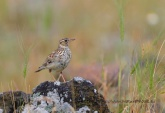 WildLife Photos of Larks, Swallows & Martins, Wood Lark, Lullula arborea