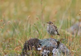 WildLife Photos of Birds, Larks, Swallows & Martins, Wood Lark
