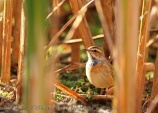 WildLife Photos of Bluethroat, Luscinia svecica