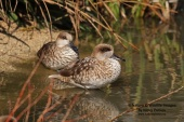 WildLife Photos of Geese, Ducks & others, Marbled Teal, Marmaronetta angustirostris