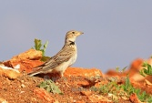 WildLife Photos of Birds, Larks, Swallows & Martins, Calandra Lark, Melanocorypha calandra