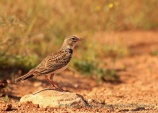 WildLife Photos of Larks, Swallows & Martins, Calandra Lark, Melanocorypha calandra