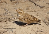 WildLife Photos of Larks, Swallows & Martins, Bimaculated Lark, Melanocorypha bimaculata