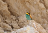 WildLife Photos of Birds, Bee-eaters & relatives, European Bee-eater, Merops apiaster