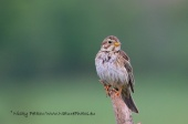WildLife Photos of Birds, Sparrows, Finches & Buntings, Corn Bunting