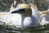 WildLife Photos of Pelicans & cormorants, Northern Gannet, Morus bassanus