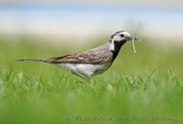 WildLife Photos of Birds, Pipits & Wagtails, White Wagtail