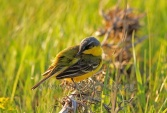 WildLife Photos of Birds, Pipits & Wagtails, Yellow Wagtail, Motacilla flava