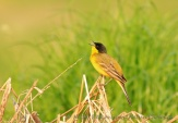 WildLife Photos of Birds, Pipits & Wagtails, Yellow Wagtail