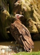 WildLife Photos of Hooded Vulture, Necrosyrtes monachus