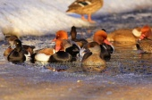 WildLife Photos of Birds, Geese, Ducks & others, Red-crested Pochard, Netta rufina