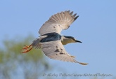 WildLife Photos of Storks & Herons, Black-crowned Night-heron, Nycticorax nycticorax