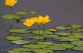 WildLife Photos of Water plants, Fringed Water-lily, Nymphoides peltata