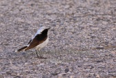 WildLife Photos of Birds, Wheatears & others, Black-eared Wheatear, Oenanthe hispanica