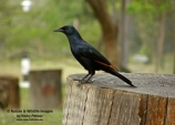 WildLife Photos of Red-winged Starling, Onychognathus morio