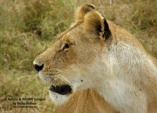 WildLife Photos of Mammals, Carnivores, African Lion, Panthera leo