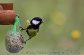 WildLife Photos of Flycatchers &Tits, Great Tit, Parus major