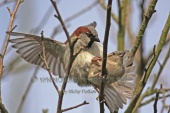 WildLife Photos of Birds, Sparrows, Finches & Buntings, House Sparrow, Passer domesticus