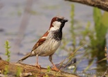 WildLife Photos of House Sparrow, Passer domesticus