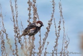 WildLife Photos of Birds, Sparrows, Finches & Buntings, Spanish Sparrow, Passer hispaniolensis