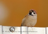 WildLife Photos of Birds, Sparrows, Finches & Buntings, Tree Sparrow, Passer montanus