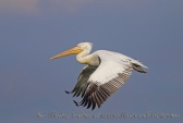 WildLife Photos of Pelicans & cormorants, Dalmatian Pelican, Pelecanus crispus