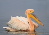 WildLife Photos of Pelicans & cormorants, White Pelican, Pelecanus onocrotalus