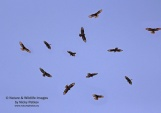 WildLife Photos of European Honey-buzzard, Pernis apivorus
