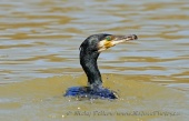 WildLife Photos of Pelicans & cormorants, Great Cormorant, Phalacrocorax carbo