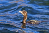 WildLife Photos of Pelicans & cormorants, Pygmy Cormorant, Phalacrocorax pygmeus