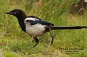 WildLife Photos of Black-billed Magpie, Pica pica