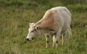 WildLife Photos of Other, Primitive breeds and Agriculture, Cows & cattle