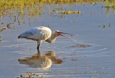 WildLife Photos of Birds, Spoonbills, Flamingos & others, Eurasian Spoonbill