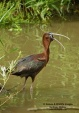 WildLife Photos of Birds, Spoonbills, Flamingos & others, Glossy Ibis, Plegadis falcinellus
