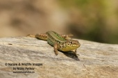 WildLife Photos of Balkan wall lizard, Podarcis taurica