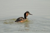 WildLife Photos of Divers & Grebes, Great Crested Grebe, Podiceps cristatus