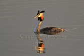 WildLife Photos of Birds, Divers & Grebes, Great Crested Grebe, Podiceps cristatus