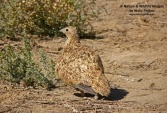 WildLife Photos of Birds, Pigeons, Doves, Cuckoos & others, Black-bellied Sandgrouse, Pterocles orientalis