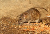 WildLife Photos of Mammals, Rodents, Brown Rat, Rattus norvegicus